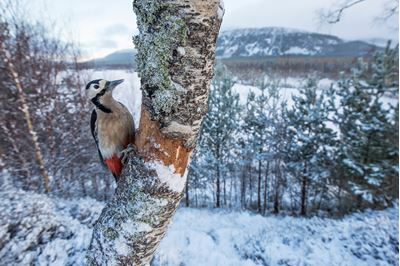 Great spotted woodpecker in snowy woodland, Glenfeshie, Scotland.
