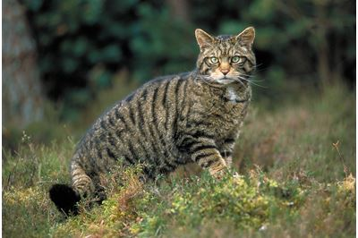 Scottish wildcat on edge of pine woodland, Glenfesie, Scotland.