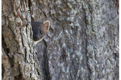 Pine marten peering around tree, Cairngorms National Park, Scotland.