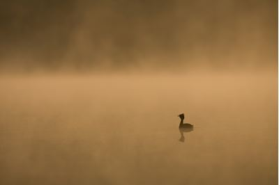 Slavonian grebe on misty lochan at dawn, Scotland.
