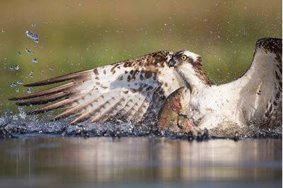 Osprey fishing at dawn, Cairngorms National Park, Scotland.