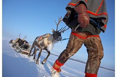 Pathfinder Lapland, Sami ecotourism operator leading convoy of reindeer across tundra in winter, Lapland, Sweden.
