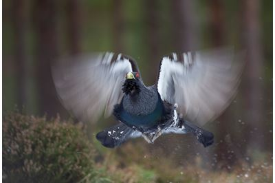 Capercaillie male flying in pine forest, Scotland.