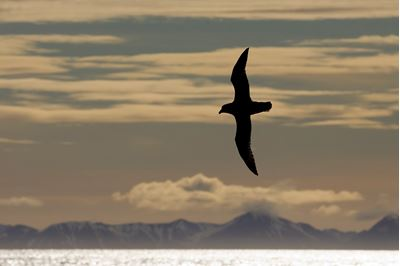 Fulmar gliding in front of sunlit mountain range, Svalbard, Norway