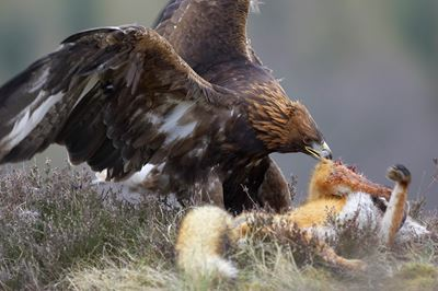 Golden Eagle feeding on red fox,  Cairngorms National Park, Scotland. (c)